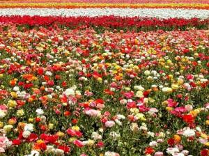 A florecer que empieza el calorcito.  Campo_de_flores-1024x768-58814